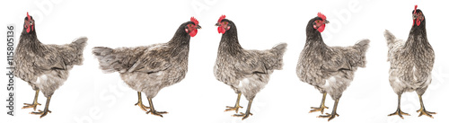 Cadres-photo bureau Poules a hen - chicken isolated on white background