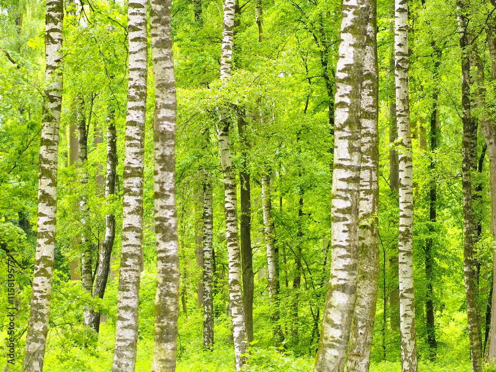 Birkenbäume im zartgrünen Frühlingskleid