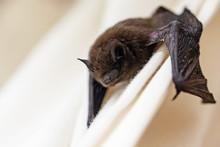 Common Pipistrelle (Pipistrell...