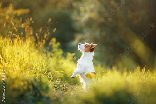 Photo dog walks on nature, greens, Jack Russell Terrier on the grass