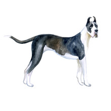 Watercolor Closeup Portrait Of Cute Great Dane Breed Dog Isolated On White Background. Shorthair Smooth Large Guardian Dog Posing At Dog Show. Hand Drawn Sweet Home Pet. Greeting Card Design. Clip Art