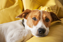 Adorable, But Lonely Dog Laying Down On The Sofa