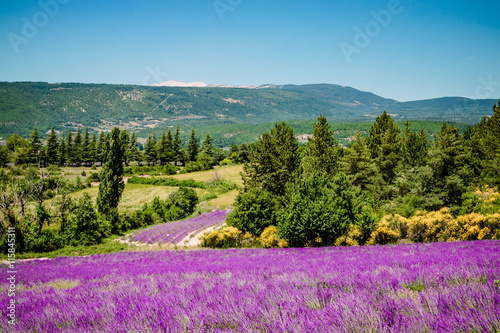 Foto op Plexiglas Lavendel Champs de lavandes et Mont Ventoux sur la route de Sault