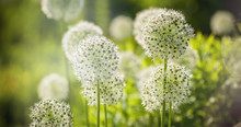 Beautiful White Allium Circula...