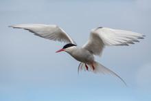 Flying Arctic Tern (Sterna Par...