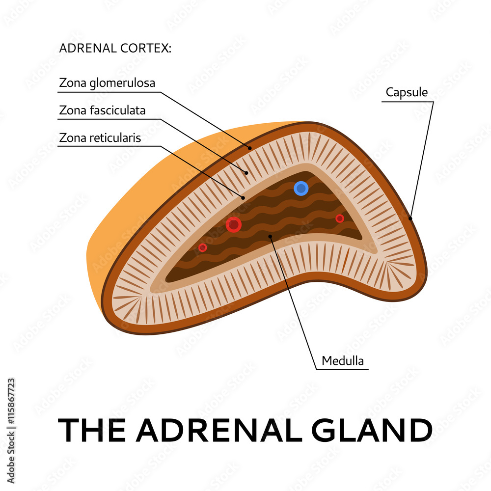The Adrenal Gland Medical Scheme Illustration From The Point Of