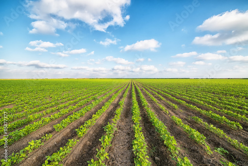 Obraz Vegetable Field - fototapety do salonu