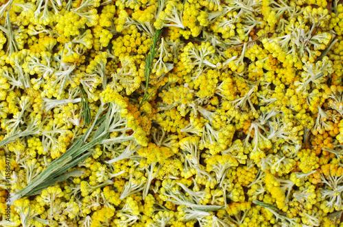 Flowers of helichrysum arenarium closeup bright yellow flower flowers of helichrysum arenarium closeup bright yellow flower background medicinal field herbs mightylinksfo