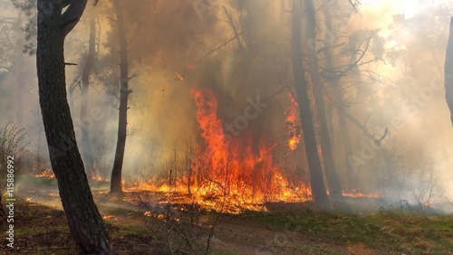 Poster Roe Fire burning in a pine forest