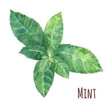 Mint Leaves On White Backgroun...