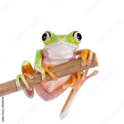 Tuinposter Kikker Lemur leaf frog on white background