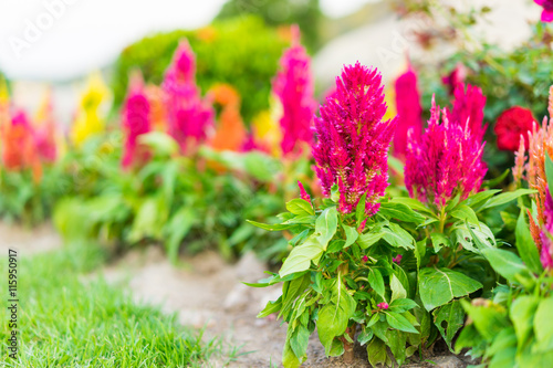 Valokuva  Celosia flower, Chinese Wool Flower