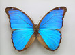 Menelaus Blue Morpho (Morpho menelaus) isolated