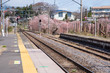 japan train station and cherry blossoms