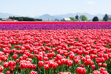 Tulip Fields During Skagit Val...