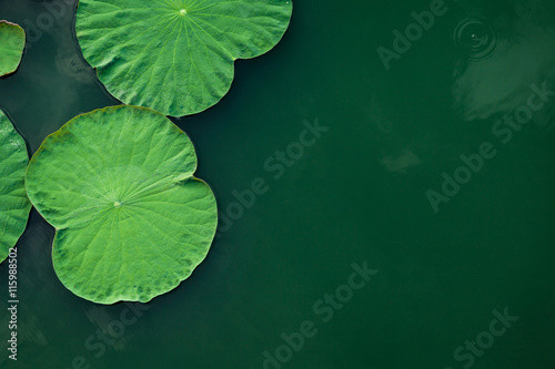 Photo Stands Water lilies Peaceful and calm concept . Composition of Green lotus leaves in