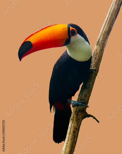 Tuinposter Toekan The Toucan Toco sitting on a branch isolated on peach. The toco toucan (Ramphastos toco), also known as the common toucan,