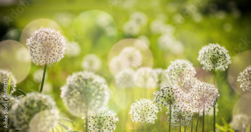 Beautiful White Allium circular globe shaped flowers blow in the wind Canvas Print