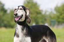 Portrait Of Nice Dog - Saluki