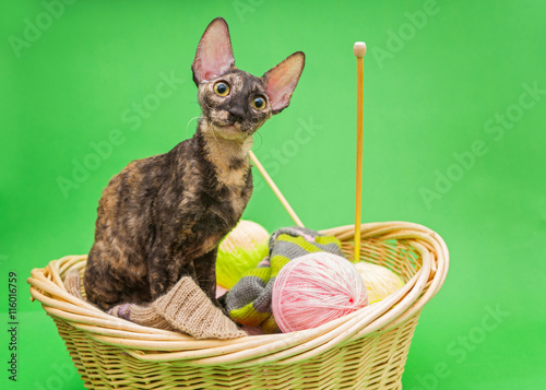 Photo  Cat Cornish Rex in the basket