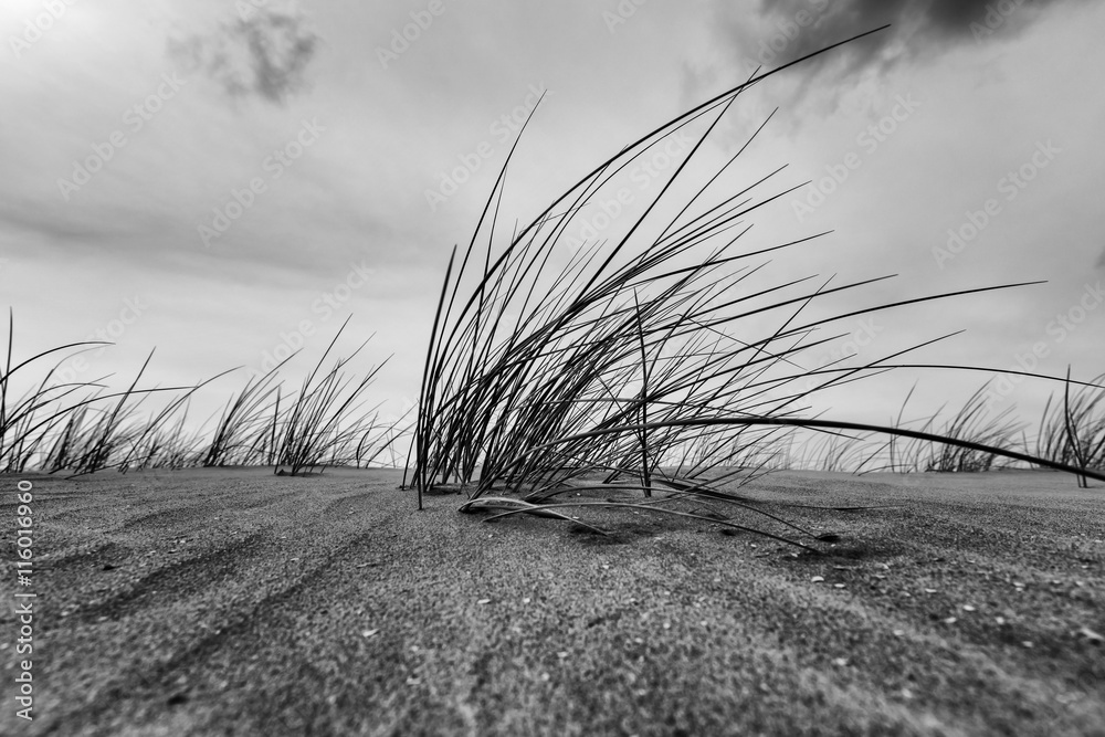 Fototapeta Marram Grass Close-up In Black And White