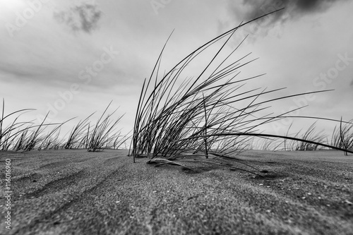 Marram Grass Close-up In Black And White Poster