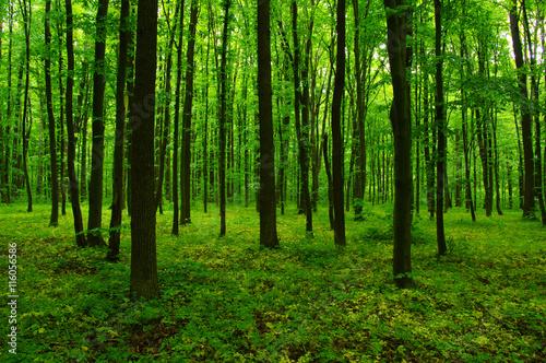 Fototapeten Wald beautiful green forest