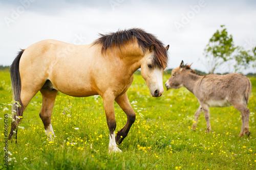 Photo  welsh pony and gray donkey