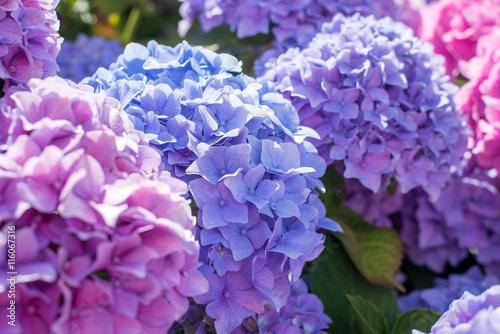 Papiers peints Hortensia magnifique massif d'hortensia en fleur