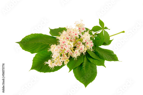 Horse chestnut flowers isolated on a white background. Medical herb series.