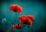 Fototapeta Kwiaty - Amazing poppy field . Summer flowers .