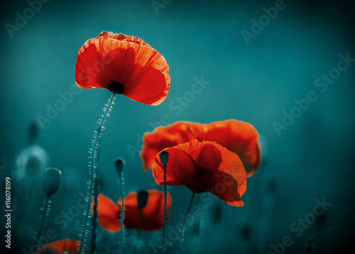 Fototapeta Amazing poppy field . Summer flowers .