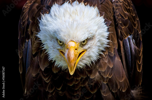 Deurstickers Eagle An angry north american bald eagle