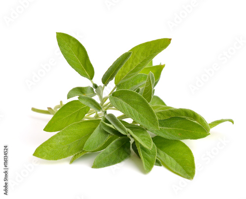 Fototapeta Salvia officinalis obraz na płótnie
