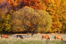 Cows Grazing In A Autumn Farmland Pasture.