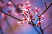 Flowers:Cherry Blossoms In Tha...