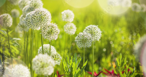 Fototapeta Czosnek - kwiaty  beautiful-white-allium-circular-globe-shaped-flowers-blow-in-the-wind