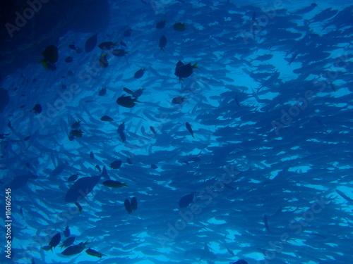 Papiers peints Recifs coralliens マレーシアの渦巻きギンガメアジ
