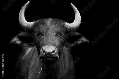 In de dag Buffel funny buffalo portrait
