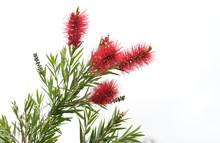 Australian Bottlebrush Red Callistemon Flowers