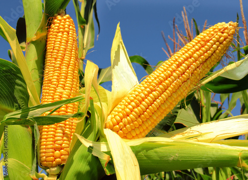 Corn field Billede på lærred