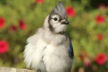 Juvenile Blue Jay (corvid Cyan...