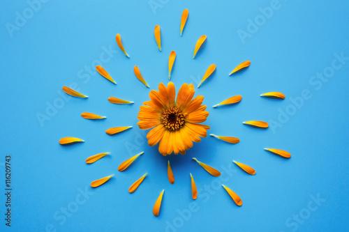 Obraz Isolated calendula flower with petals on blue background. Creative photo - fototapety do salonu