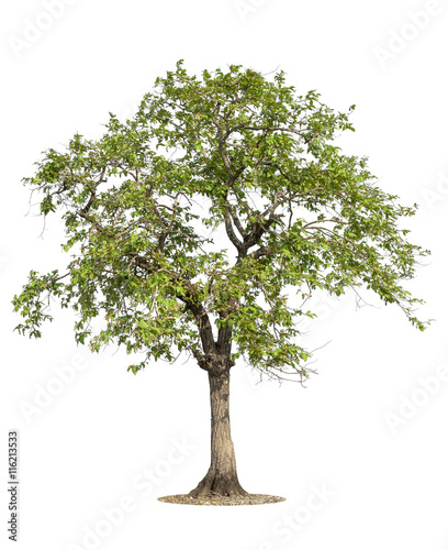Fényképezés  Tree isolated on white background