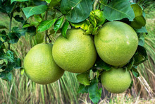 Pomelo Fruit Hanging On Tree In The Garden. Pomelo Fruit Plant