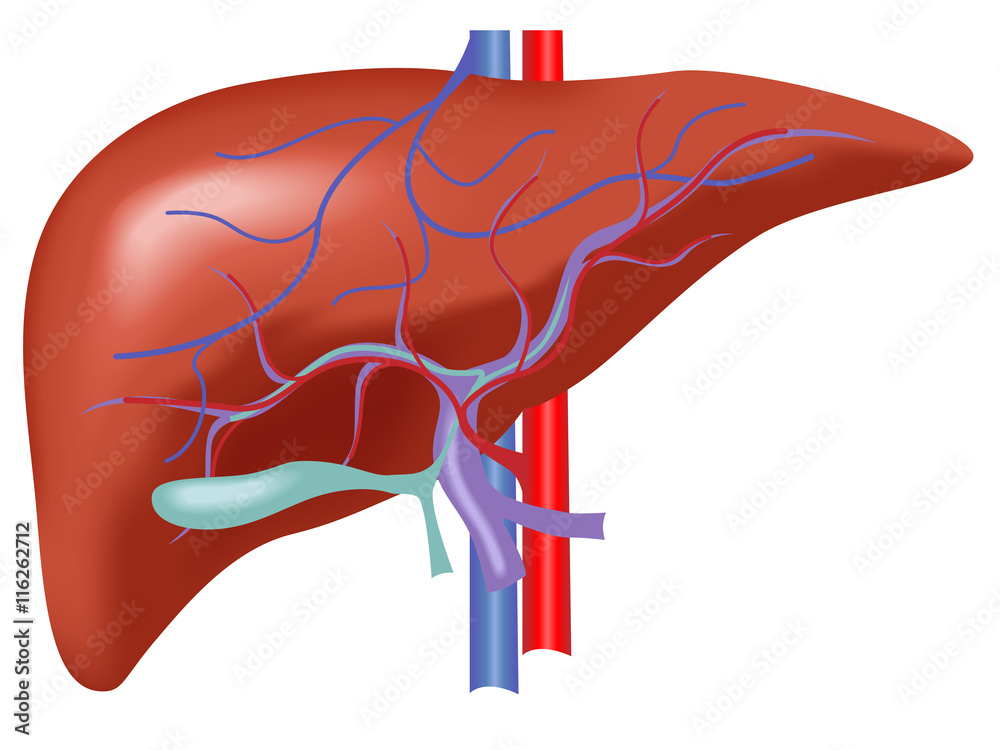 Human Liver Anatomy Liver Vector With Artery And Vein Blood Foto