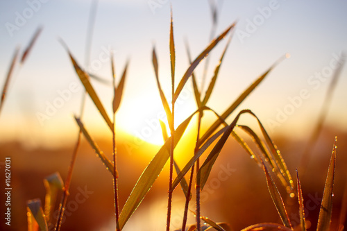 Canvas Print sunrise through the tall grass with dew
