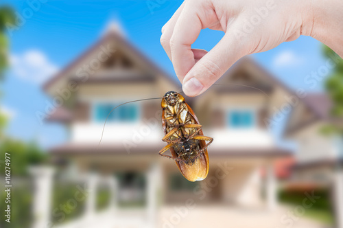 Woman's Hand holding cockroach on house background, eliminate cockroach in house