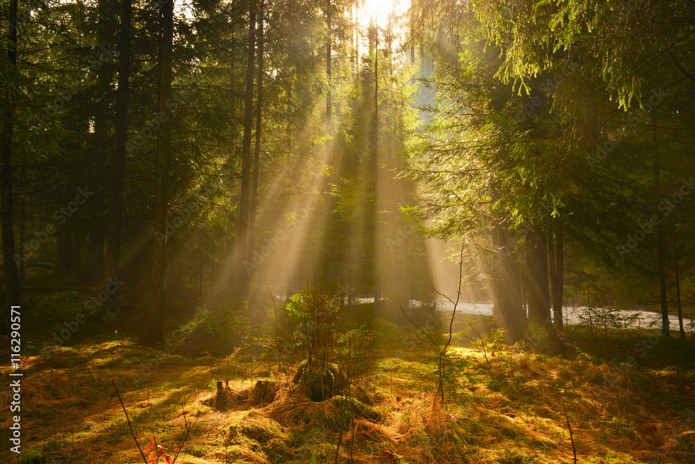Fototapety, obrazy: Sunbeams in deep wood