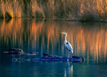 Great Blue Heron On Chesapeake Bay Golden Pond